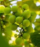 Foto de una rama de las uvas verdes de la vid Imágenes de archivo libres de regalías