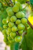 Foto de una rama de las uvas verdes de la vid Fotografía de archivo libre de regalías