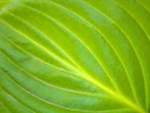 Foto de una textura de una hoja verde grande en el jardín Fotos de archivo libres de regalías