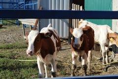 Foto de vacas jovenes en el pasto a través de la cerca imagenes de archivo