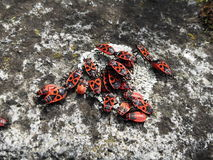 Foto degli insetti di fuoco Fotografie Stock Libere da Diritti