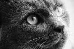 Foto degli occhi giallo-grigi del gatto Immagine Stock Libera da Diritti