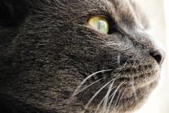 Foto degli occhi giallo-grigi del gatto Fotografia Stock