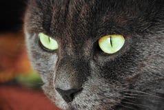 Foto degli occhi giallo-grigi del gatto Immagini Stock