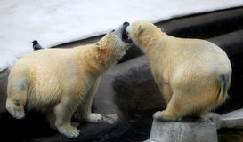 Foto degli orsi di gioco divertenti Immagini Stock