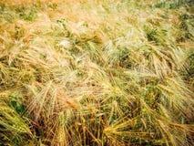 Foto dei giacimenti e delle orecchie di grano Immagini Stock Libere da Diritti