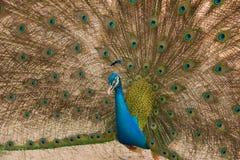 Foto dei pavoni che mostrano le belle piume Fotografie Stock