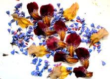 Foto dei petali del fiore Immagine Stock