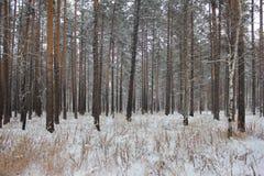 Foto dei pini Immagine Stock Libera da Diritti