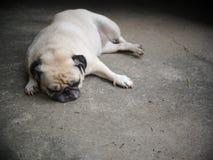 Foto dei ritratti di un cane sveglio grasso bianco adorabile del carlino immagine stock libera da diritti