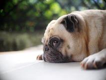 Foto dei ritratti di un cane sveglio grasso bianco adorabile del carlino fotografia stock