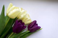 Foto dei tulipani viola e gialli Immagine Stock