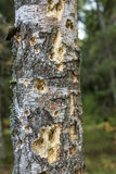 Foto del árbol de abedul con los agujeros de la pulsación de corriente Fotografía de archivo