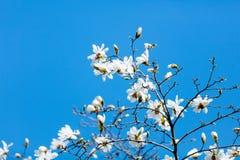 Foto del árbol floreciente hermoso de Myrtaseae Imagen de archivo