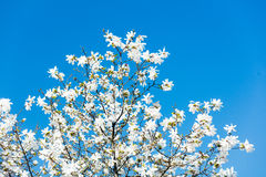 Foto del árbol floreciente hermoso de Myrtaseae Imagenes de archivo