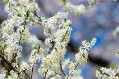 Foto del árbol floreciente hermoso de Myrtaseae Fotografía de archivo libre de regalías