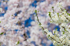Foto del árbol floreciente hermoso en el claro maravilloso Fotos de archivo