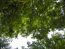 Foto del baldacchino con luce solare che splende tramite le foglie Immagine Stock Libera da Diritti