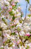 Foto del brunch floreciente del árbol Fotos de archivo