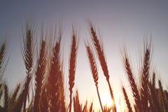 Foto del campo de trigo en la capa del brillo de la explosión del sol de la salida del sol Foto de archivo libre de regalías