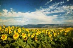 Foto del campo floreciente del girasol Imágenes de archivo libres de regalías