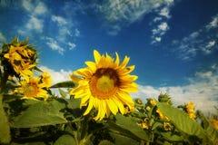 Foto del campo floreciente del girasol Foto de archivo libre de regalías