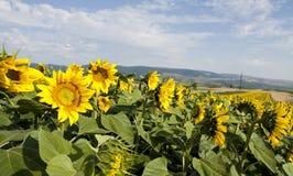 Foto del campo floreciente del girasol Fotos de archivo