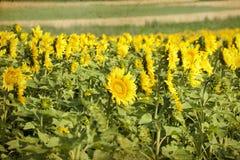 Foto del campo floreciente del girasol Fotos de archivo libres de regalías