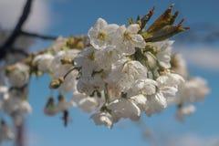 Foto del cerezo floreciente imagen de archivo