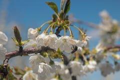 Foto del cerezo floreciente fotos de archivo