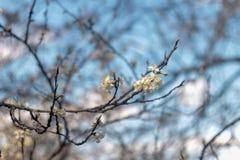 Foto del cerezo floreciente foto de archivo libre de regalías