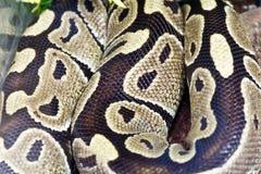Foto del cierre de la piel de serpiente para arriba en parque zoológico Fotografía de archivo