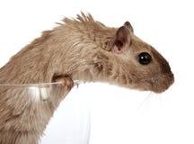 Foto del concepto de un roedor del animal doméstico en una copa de vino foto de archivo