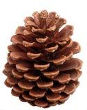 Foto del cono del pino Foto de archivo