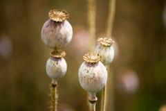 Foto del detalle de poppyheads Foto de archivo libre de regalías