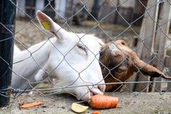 Foto del dos cabras detrás del puré del alambre Foto de archivo libre de regalías