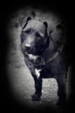 Foto del estilo de la vendimia del terrier del patterdale Imagen de archivo libre de regalías