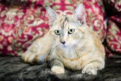 Foto del estudio de la adopción del gato de Tabico Fotos de archivo