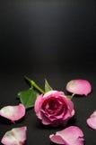 Foto del estudio de la rosa del rosa con el fondo negro Foto de archivo libre de regalías