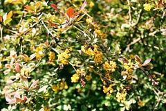 Foto del fiore del crespino Fotografia Stock Libera da Diritti