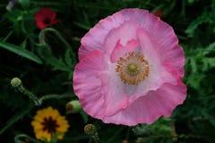 Foto del fiore rosa del papavero in un prato dei fiori selvaggi, preso un giorno soleggiato nella metà dell'estate in Eastcote, i fotografia stock libera da diritti