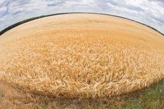 Foto del fish-eye del giacimento di grano Immagini Stock