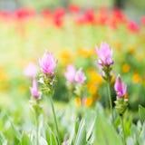 Foto del flor del alismatifolia de la cúrcuma Fotos de archivo libres de regalías