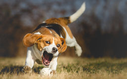 Foto del fondo di un cane che insegue una palla Fotografie Stock Libere da Diritti