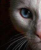 Foto del fronte del gatto bianco con gli occhi azzurri Fotografia Stock