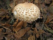 Foto del fungo della foresta Fotografia Stock Libera da Diritti