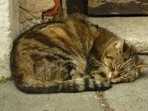 Foto del gato el dormir Fotografía de archivo
