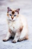 Foto del gatto - curiosa Fotografie Stock Libere da Diritti