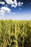 Foto del giacimento di grano Campo verde con cielo blu Immagine Stock
