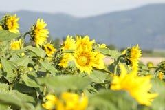 Foto del Grunge del campo floreciente del girasol Imagenes de archivo